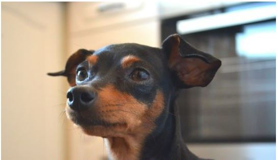 cachorro Mulher mata cachorra a paulada em Maringá